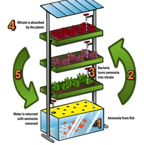 Aquaponics-Cycle-with-Numbers