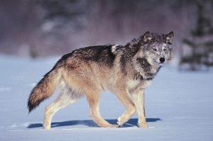 Wolves, Coyotes, and Wild Dogs